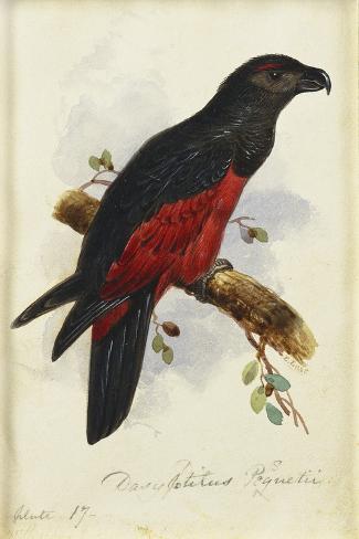 Pesquet's Dasyptilus (Dasyptilus Pesquetii)-Edward Lear-Stretched Canvas Print