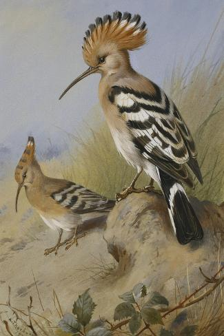 Hoopoes-Archibald Thorburn-Stretched Canvas Print