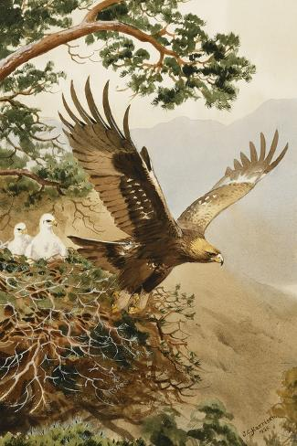 Golden Eagle with Young, Aviemore-John Cyril Harrison-Stretched Canvas Print