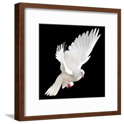 A Free Flying White Dove Isolated On A Black Background-Irochka-Framed Art Print