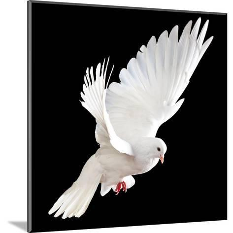 A Free Flying White Dove Isolated On A Black Background-Irochka-Mounted Art Print