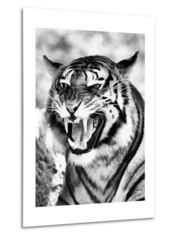 Angry Tiger Face-Snap2Art-Metal Print