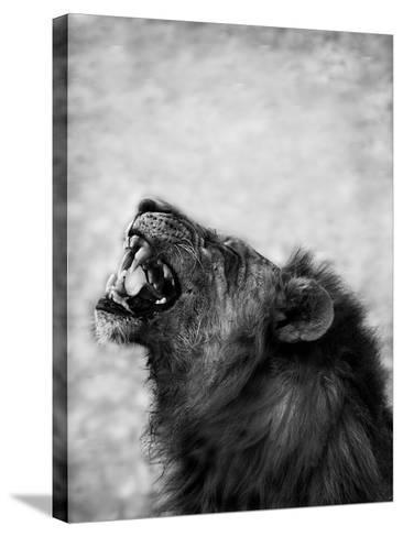 Lion Displaying Dangerous Teeth-Donvanstaden-Stretched Canvas Print