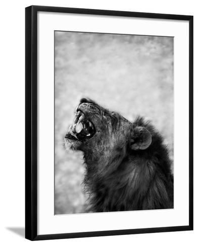 Lion Displaying Dangerous Teeth-Donvanstaden-Framed Art Print