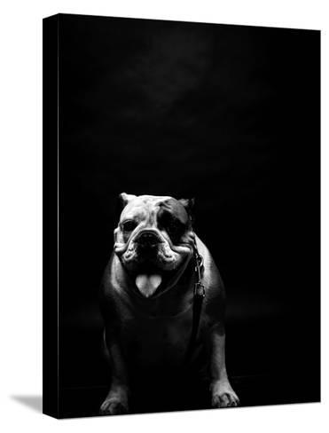 Young Bulldog In Studio-svedoliver-Stretched Canvas Print