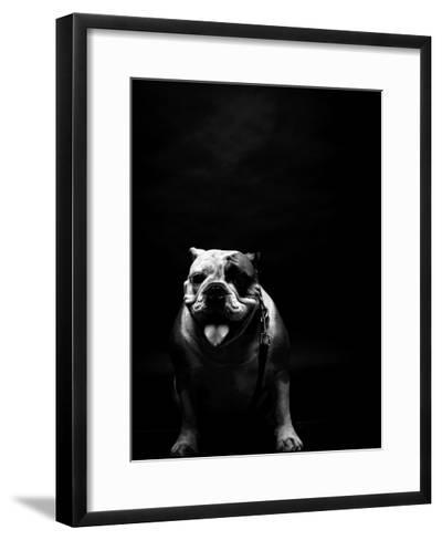 Young Bulldog In Studio-svedoliver-Framed Art Print