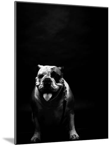 Young Bulldog In Studio-svedoliver-Mounted Art Print