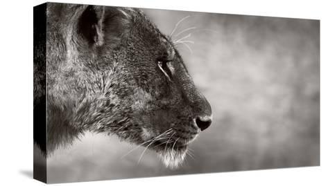 Lion Side View-Donvanstaden-Stretched Canvas Print