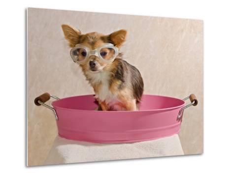 Chihuahua Puppy Taking A Bath Wearing Goggles Sitting In Pink Bathtub-vitalytitov-Metal Print