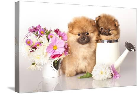 Two German (Pomeranian) Spitz Puppies And Flowers On White Background-Lilun-Stretched Canvas Print