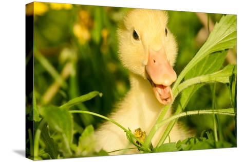 Small Yellow Duckling Outdoor On Green Grass-goinyk-Stretched Canvas Print