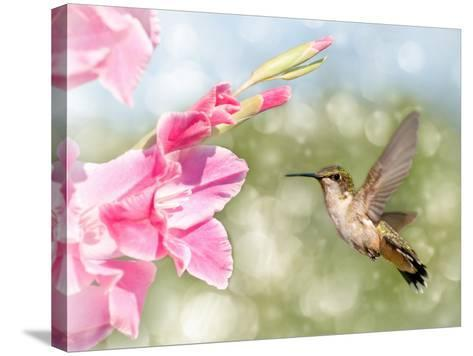Dreamy Image Of A Ruby-Throated Hummingbird Hovering Next To A Pink Gladiolus Flower-Sari ONeal-Stretched Canvas Print