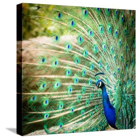 Splendid Peacock with Feathers Out (Pavo Cristatus)-l i g h t p o e t-Stretched Canvas Print