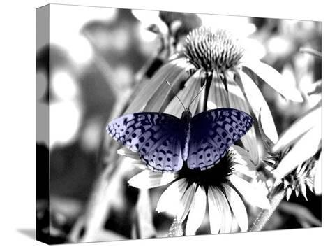 Black And White Butterfly-Jenn Gaylord-Stretched Canvas Print