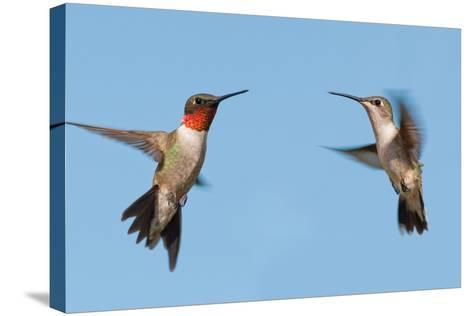 Two Ruby-Throated Hummingbirds, A Male And Female, Flying With A Blue Sky Background-Sari ONeal-Stretched Canvas Print