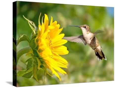 Ruby-Throated Hummingbird Hovering Next To A Bright Yellow Sunflower-Sari ONeal-Stretched Canvas Print