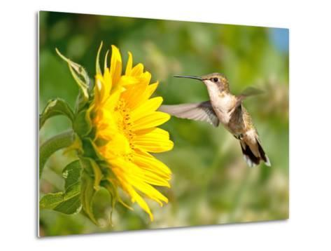 Ruby-Throated Hummingbird Hovering Next To A Bright Yellow Sunflower-Sari ONeal-Metal Print