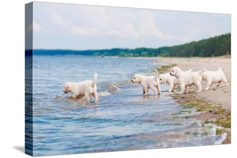 Golden Retriever Puppies At The Sea-ots-photo-Stretched Canvas Print