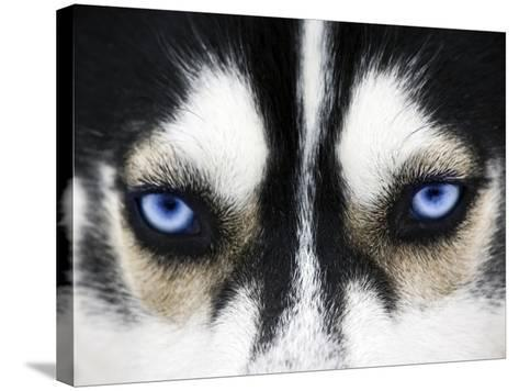 Close Up On Blue Eyes Of A Dog-melis-Stretched Canvas Print