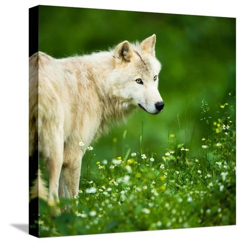 Arctic Wolf (Canis Lupus Arctos) Aka Polar Wolf Or White Wolf-l i g h t p o e t-Stretched Canvas Print