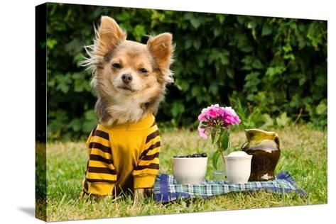Cute Chihuahua Dog At The Picnic In Summer Garden-vitalytitov-Stretched Canvas Print