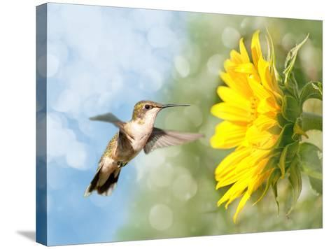 Dreamy Image Of A Hummingbird Next To A Sunflower-Sari ONeal-Stretched Canvas Print