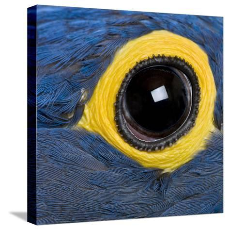 Hyacinth Macaw, 1 Year Old, Close Up On Eye-Life on White-Stretched Canvas Print