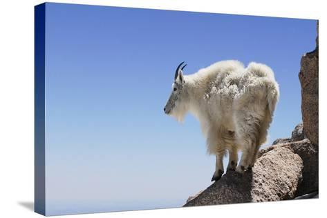 Mountain Goat On A High Mountain Ledge-Blueiris-Stretched Canvas Print