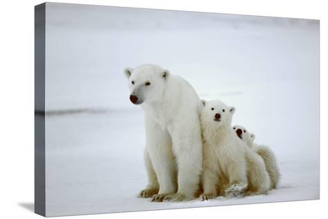 Polar She-Bear With Cubs-SURZ-Stretched Canvas Print