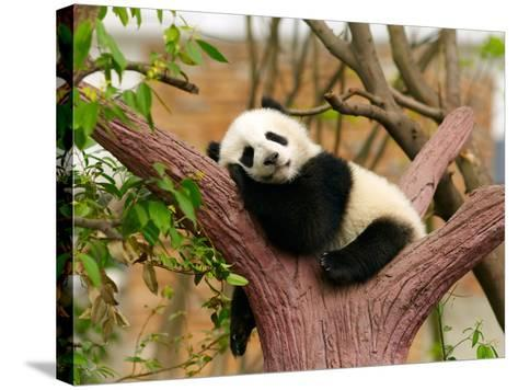 Sleeping Giant Panda Baby-silver-john-Stretched Canvas Print