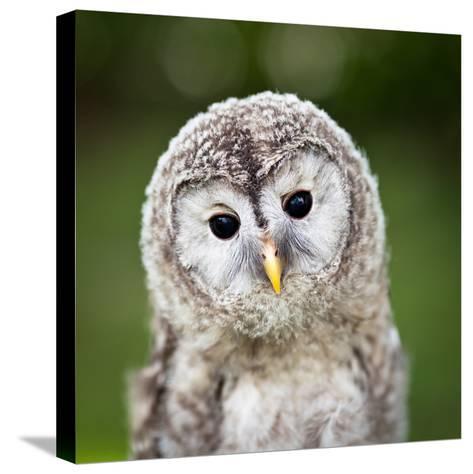 Close Up Of A Baby Tawny Owl (Strix Aluco)-l i g h t p o e t-Stretched Canvas Print