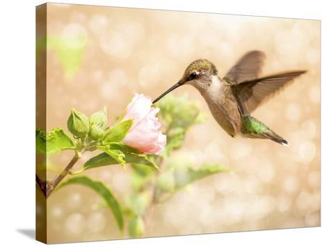 Dreamy Image Of A Young Male Hummingbird Feeding On A Light Pink Althea Flower-Sari ONeal-Stretched Canvas Print