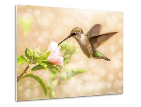 Dreamy Image Of A Young Male Hummingbird Feeding On A Light Pink Althea Flower-Sari ONeal-Metal Print