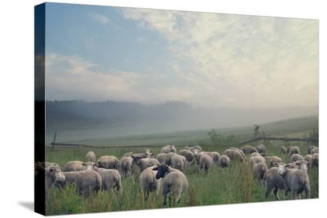 Herd Of Sheep On Beautiful Mountain Meadow-conrado-Stretched Canvas Print