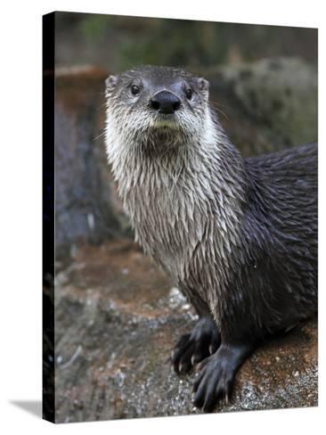 Otter - The Cutest European Mammal-l i g h t p o e t-Stretched Canvas Print