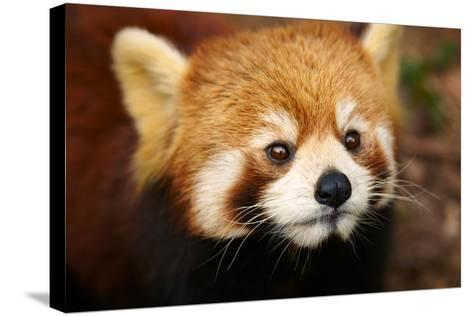 The Red Panda, Firefox-silver-john-Stretched Canvas Print