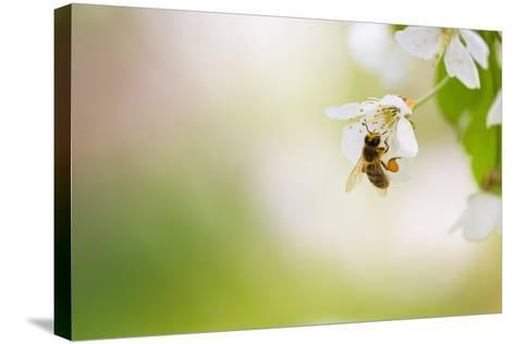 Honey Bee Enjoying Blossoming Cherry Tree On A Lovely Spring Day-l i g h t p o e t-Stretched Canvas Print