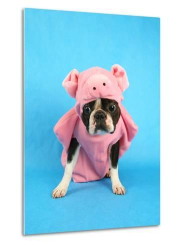 A Boston Terrier In A Pig Costume-graphicphoto-Metal Print