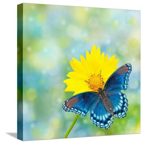 Red-Spotted Purple Admiral On Yellow Coreopsis Flower-Sari ONeal-Stretched Canvas Print