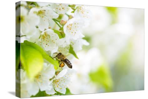 Honey Bee In Flight Approaching Blossoming Cherry Tree-l i g h t p o e t-Stretched Canvas Print