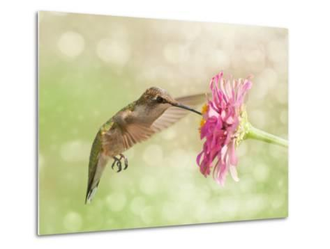 Dreamy Image Of A Ruby-Throated Hummingbird Feeding On A Pink Zinnia Flower-Sari ONeal-Metal Print