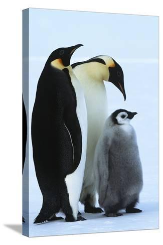 Antarctica Weddel Sea Atka Bay Emperor Penguin Family-Nosnibor137-Stretched Canvas Print