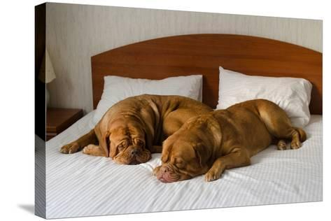 Dogue De Bordeaux Funny Couple In The Bed-vitalytitov-Stretched Canvas Print