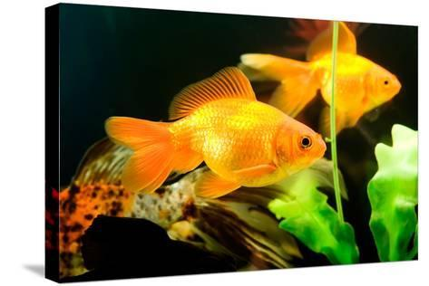 Tropical Aquarium Fish Macro Shot-PH.OK-Stretched Canvas Print