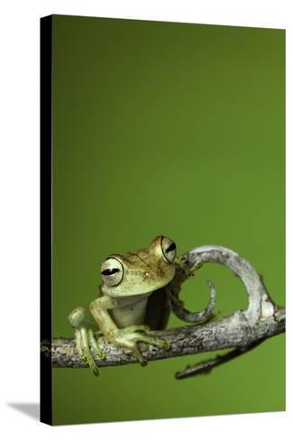 Tree Frog Golden Color Rainforest Amphibian On Branch Background Copy Space-kikkerdirk-Stretched Canvas Print
