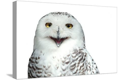 Snowy Owl (Bubo Scandiacus) Smiling And Laughing Isolated On White-l i g h t p o e t-Stretched Canvas Print