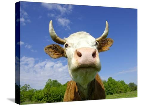 Brown Holstein Cow In The Field Looking At You-Volokhatiuk-Stretched Canvas Print