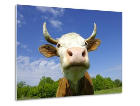 Brown Holstein Cow In The Field Looking At You-Volokhatiuk-Metal Print