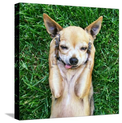 A Cute Chihuahua With His Paws On His Head Covering His Ears-graphicphoto-Stretched Canvas Print