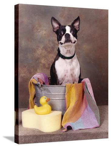 Boston Terrier In A Tub-Blueiris-Stretched Canvas Print